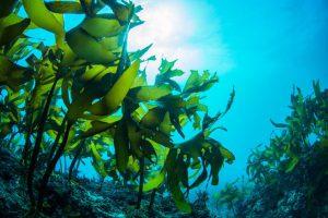 جلبک دریایی